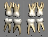 primary teeth molars 3d model