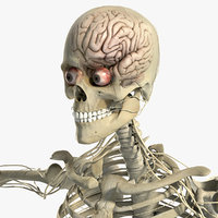 Nervous System and Skeleton Anatomy Pack (Textured)