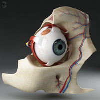 Anatomy_eyes_01