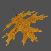 scarlet oak leaf 3d model