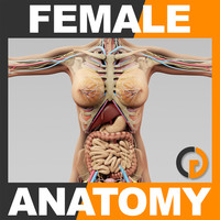 3d model human female anatomy -