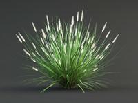 pennisetum plant flower max