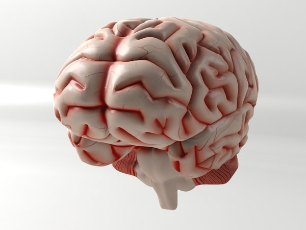 3d max brain anatomy - Brain... by logic.design