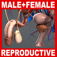 Male & Female Reproductive, Urinary and Endocrine Systems Anatomy V04 (Textured)