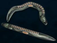 3d model caenorhabditis elegans worm