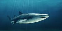 bull shark 3d model