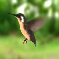 3d colibri bird