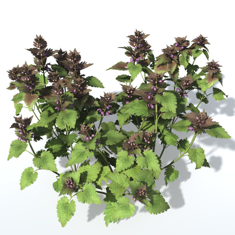Purple_Deadnettle_Turbobund.jpg