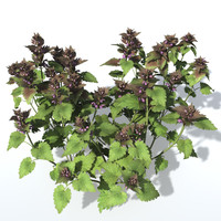 Purple Deadnettle Bundle