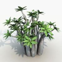 Plant Pachypodium