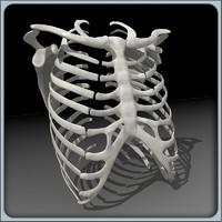 rib cage ri 3d model