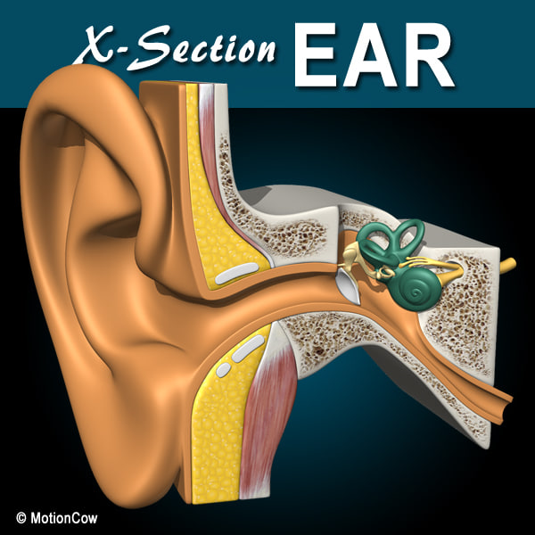 X-Section_Ear_A.jpg