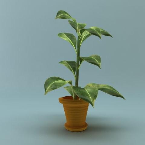rubber_plant_1.jpg