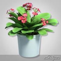 house plant euphorbia milii obj