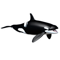 Killer Whale female