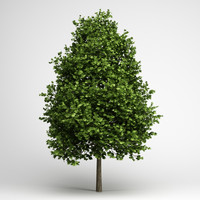 3d model green american sweetgum 09