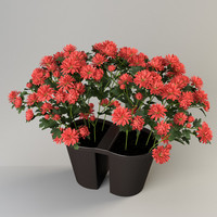 Chrysanthemum balcony pot
