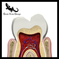 3d sectioned tooth gum