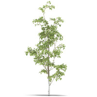 fbx birch
