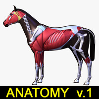 musculature skeleton horse anatomy 3d model