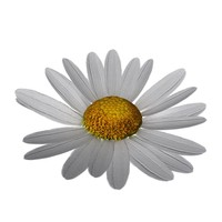 3d model daisy blossoming