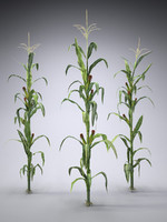 corn farm field 3d model