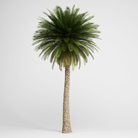 c4d canary island date palm
