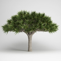 max canary islands dragon tree