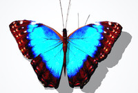 CommonBlueButterflyDC