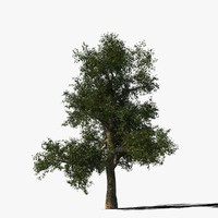 Platanus Tree Type1