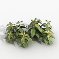 maya plant hoffmania