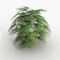rhapis palm plant 3d model