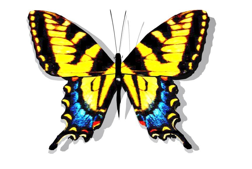 tigerswalowtaildcFullcolor.jpg