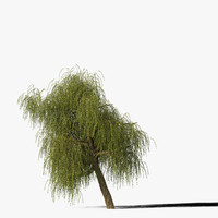 maya willow tree