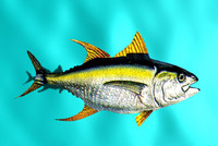 free yellow fin tuna 3d model