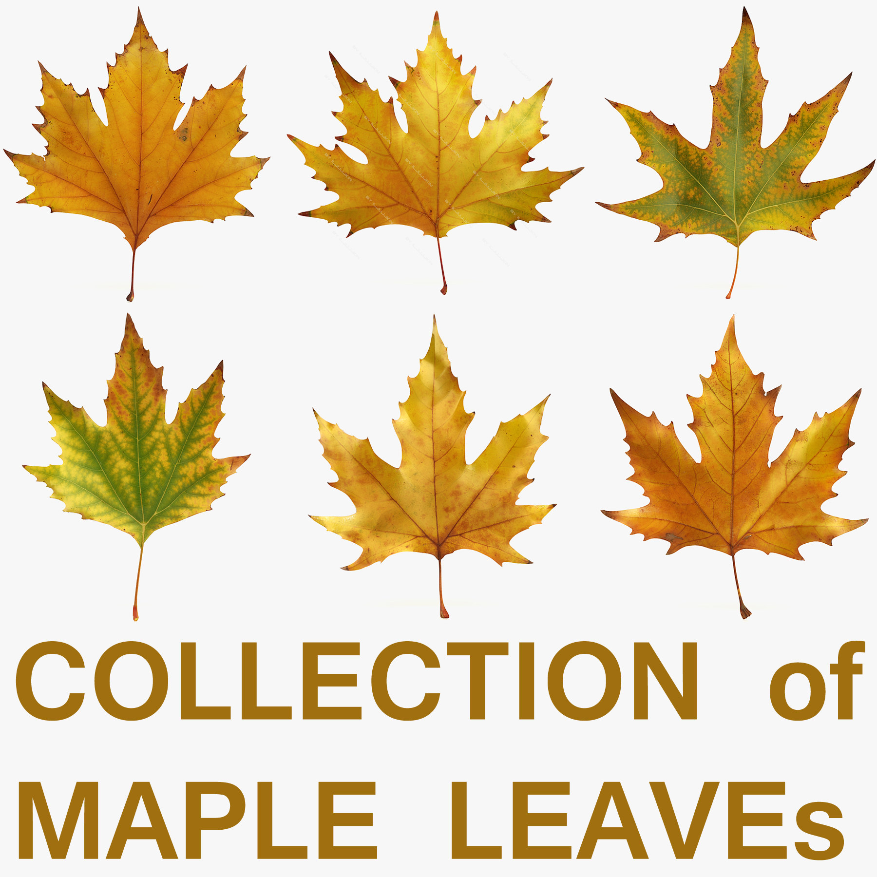 Collection_leaf_maple.jpg