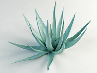 agave century plant