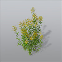 3d model goldenrods asteraceae invasive