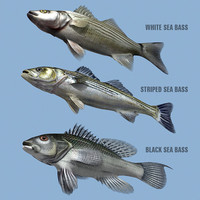 Sea Bass Family