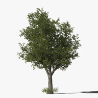 Oak Tree Type10