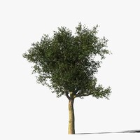 Platanus Tree Type2