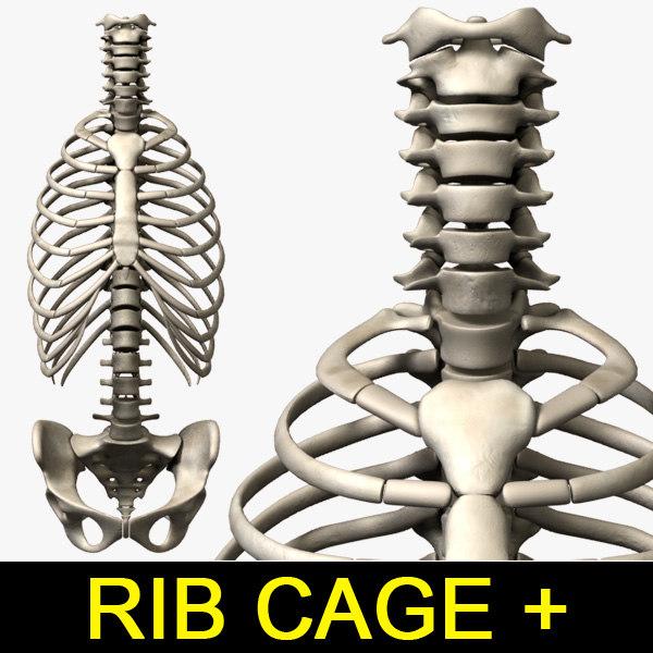 Rib-cage_Vertebra_leo3dmodels_00.jpg