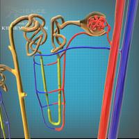 nephron anatomy 3d c4d