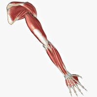 ARM  - MUSCLES ,BONES & LIGAMENTS
