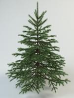 fir spruce