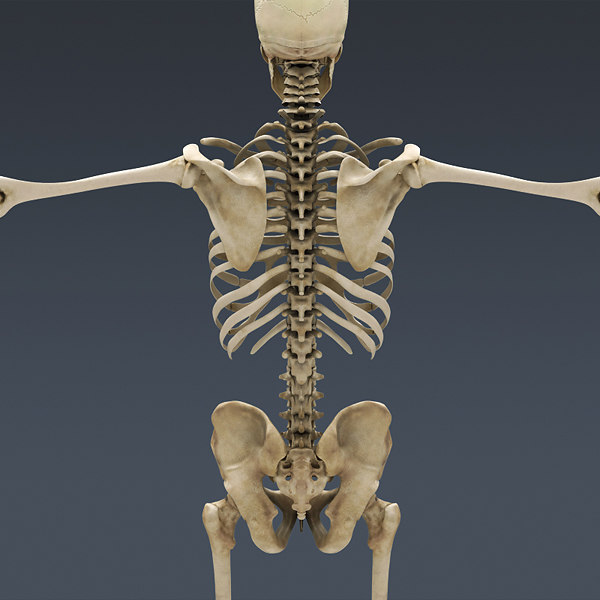 Human Skeleton Pictures 65