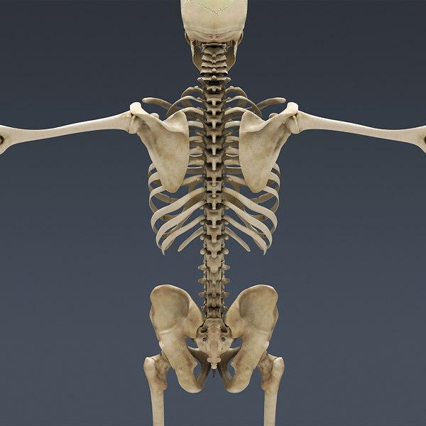 Male Human Skeleton Ba...