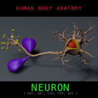 3d neuron anatomy model