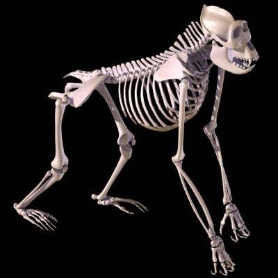 gorilla_skeleton_1.jpg