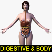 3d model female body digestive systems